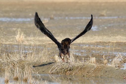 Flying Golden Eagle - gettyimageskorea