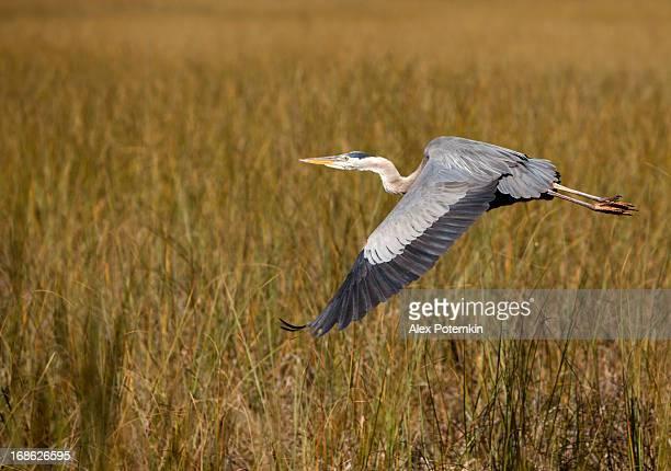 Volare Airone azzurro maggiore di Everglades