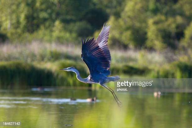 Flying  Great Blue Heron.
