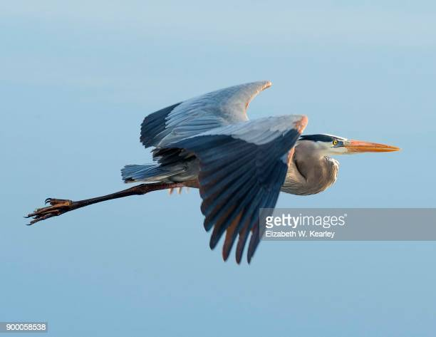flying great blue heron - vertebrate stockfoto's en -beelden