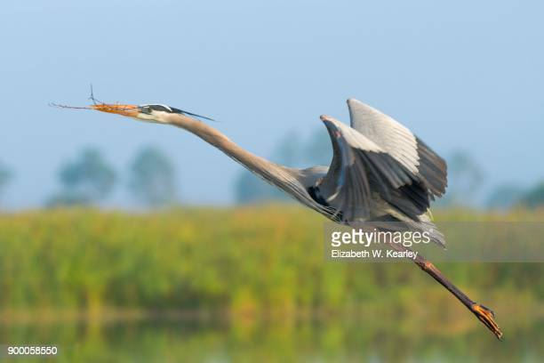 Flying Great Blue Heron with a Twig