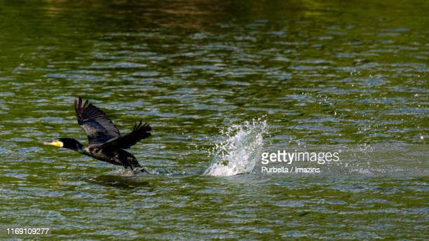 flying great cormorant, gwangju, south korea - purbella stock photos and pictures