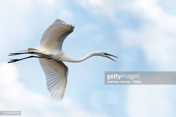 flying great egret, delray beach, usa - delray beach stock pictures, royalty-free photos & images