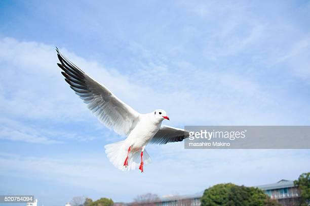 Flying Gull
