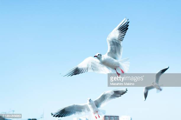 flying gulls - zeevogel stockfoto's en -beelden