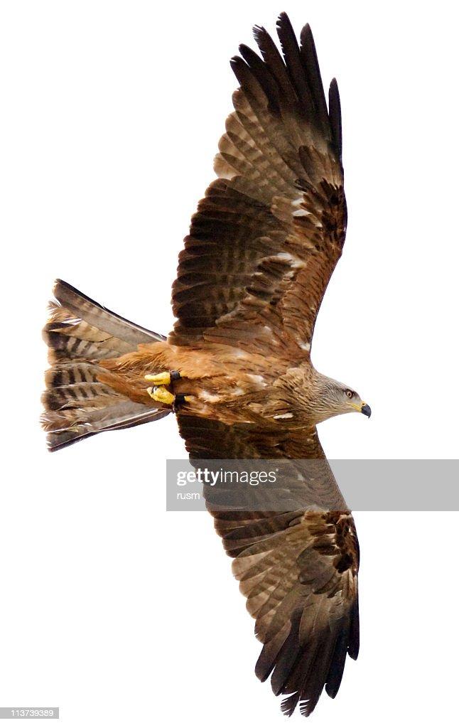 Voando hawk no fundo branco : Foto de stock