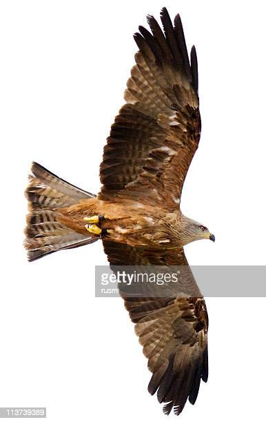 flying hawk on white background - hawk bird stock photos and pictures