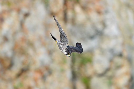 Flying Hawk - gettyimageskorea