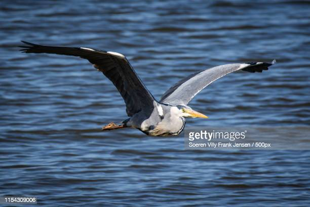 flying heron! - funen stock pictures, royalty-free photos & images