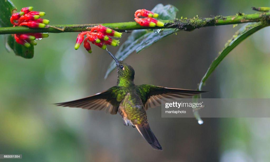 - Flying Hummingbird : Stock-Foto
