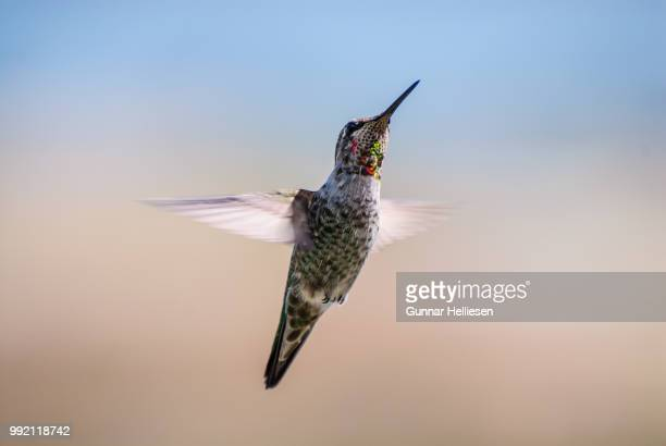 a flying hummingbird. - gunnar helliesen stock pictures, royalty-free photos & images