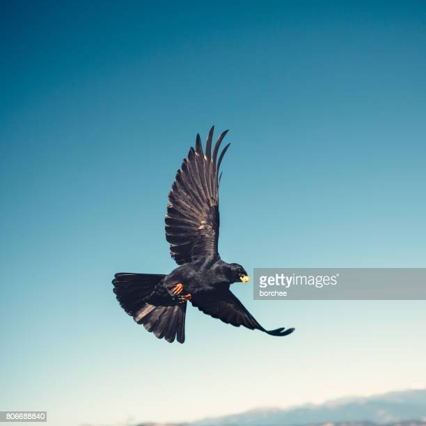 flying jackdaw - ravens stock photos and pictures