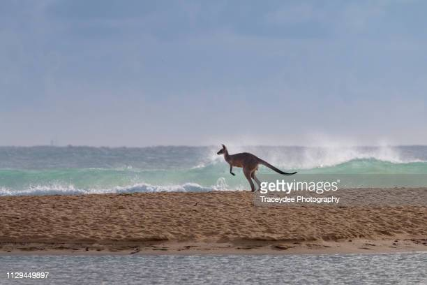 flying kangaroo going to a surf beach in currimundi, australia - sunshine coast australia stock pictures, royalty-free photos & images