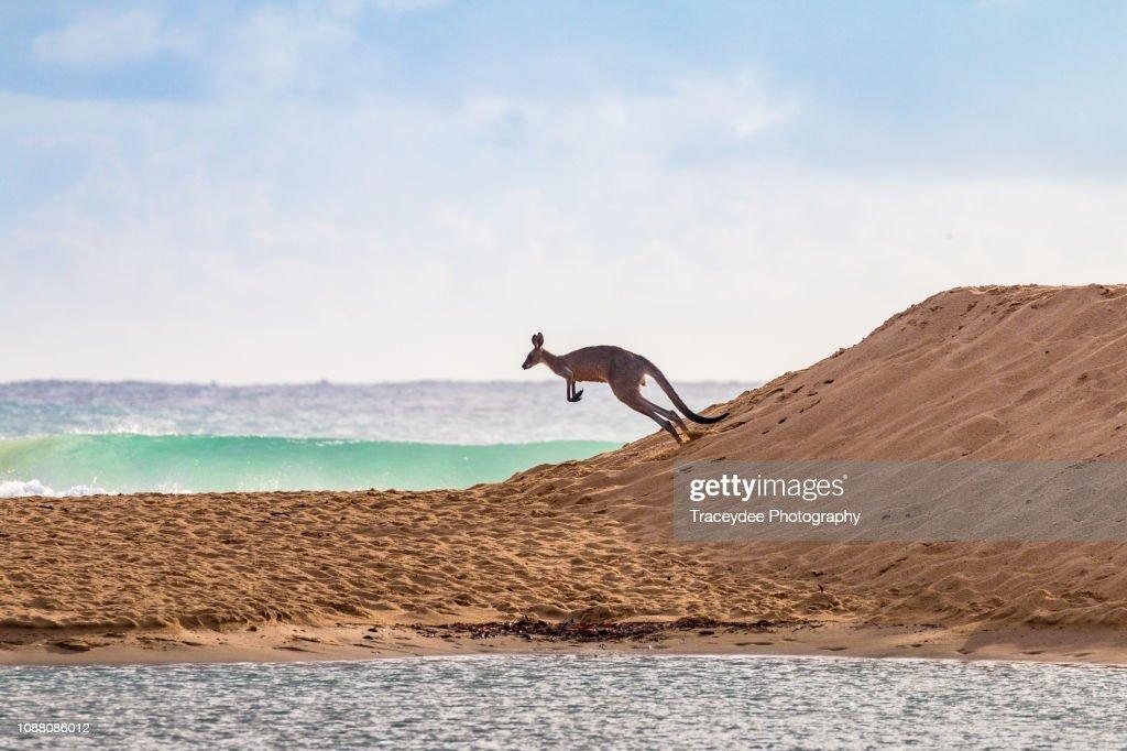 Flying Kangaroo going to a surf beach : Stock Photo
