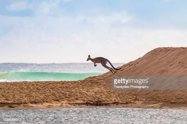 flying kangaroo going to a surf beach - sunshine coast australia stock pictures, royalty-free photos & images
