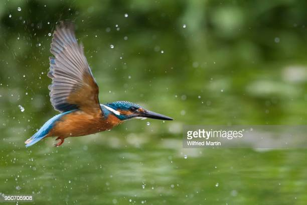 flying kingfisher (alcedo atthis) flying, with water drops, hesse, germany - カワセミ科 ストックフォトと画像