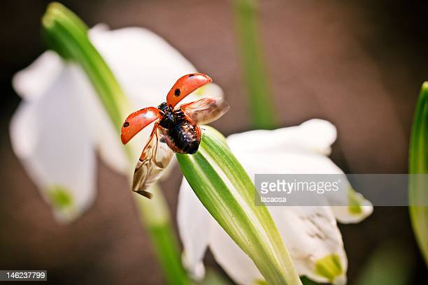flying ladybird - seven spot ladybird stock pictures, royalty-free photos & images