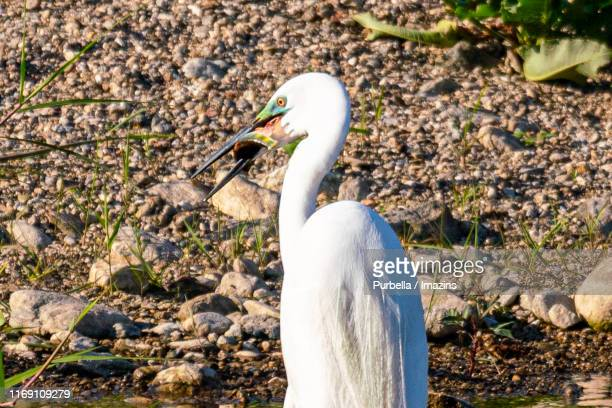 flying large egret, gwangju, south korea - purbella stock photos and pictures