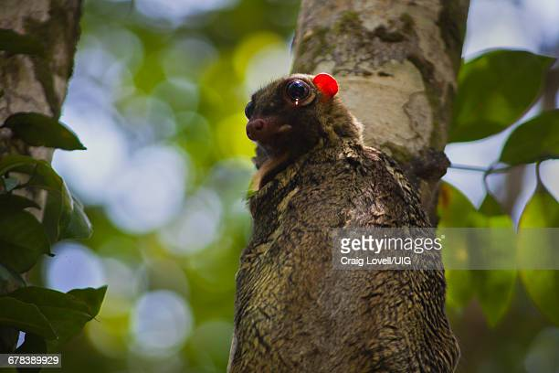 flying lemur, borneo - flying lemur stock pictures, royalty-free photos & images