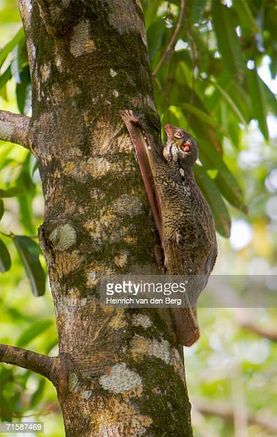 flying lemur (cyncphalus variegatus) climbing tree - flying lemur stock pictures, royalty-free photos & images