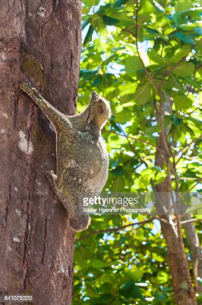 flying lemur | malaysia - flying lemur stock pictures, royalty-free photos & images