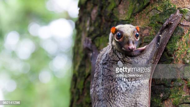 a flying lemur on a tree. - flying lemur stock pictures, royalty-free photos & images