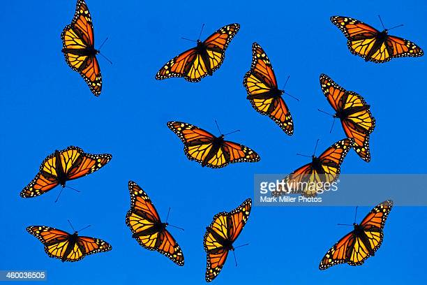 Flying Monarch Butterflies (photo composite)