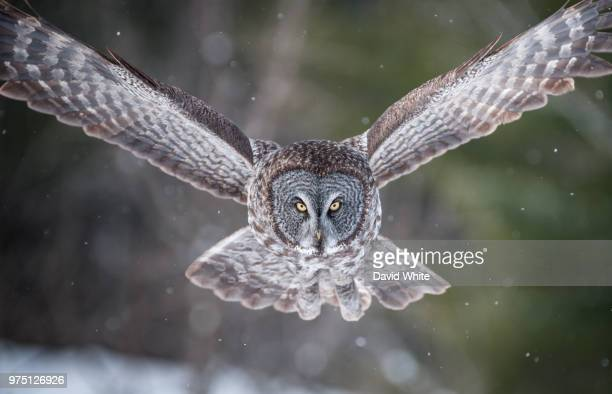 Flying owl in winter, Canada