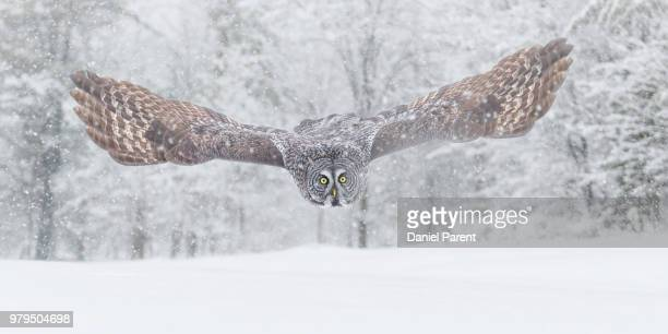 flying owl in winter scenery - chouette blanche photos et images de collection