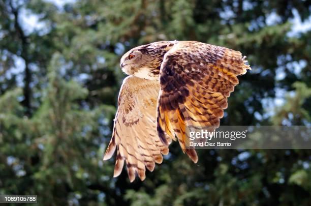 flying owl - hibou grand duc photos et images de collection
