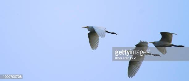flying - freshwater bird stock photos and pictures