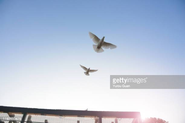flying pigeon against the blue sky at dusk. - 小さめのハト ストックフォトと画像