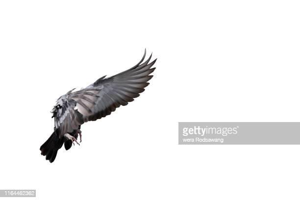 flying pigeon - schnabel stock-fotos und bilder