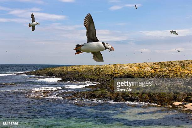 Flying Puffins