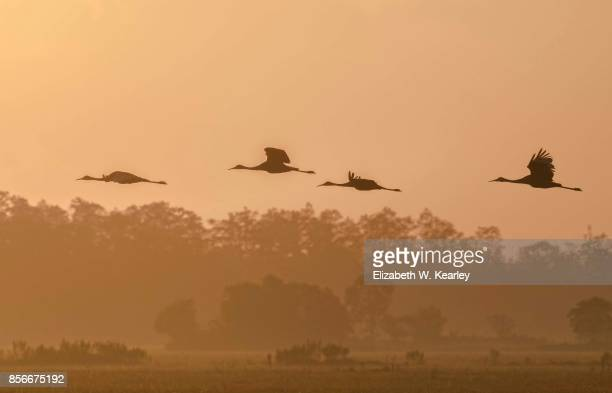 Flying Sandhill Cranes in the Dawn