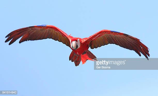 flying scarlet macaw (ara macao) - scarlet macaw stock pictures, royalty-free photos & images