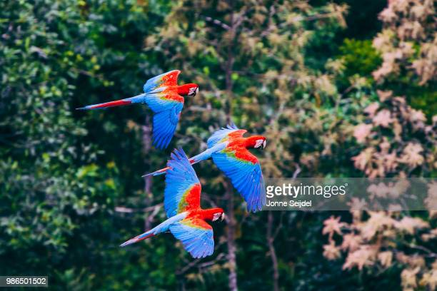 flying scarlet macaws - macaw stock pictures, royalty-free photos & images