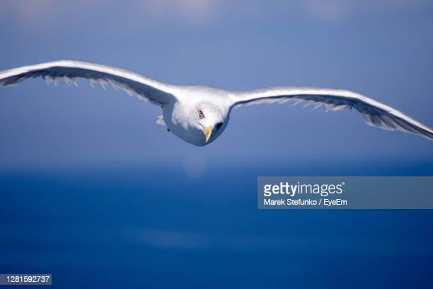 flying sea gull - marek stefunko stock pictures, royalty-free photos & images