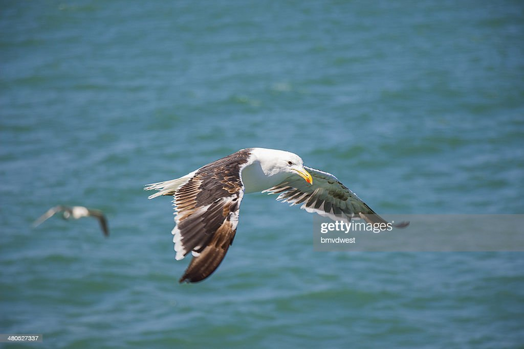 Flying Seagull Above the Ocean : Stock Photo