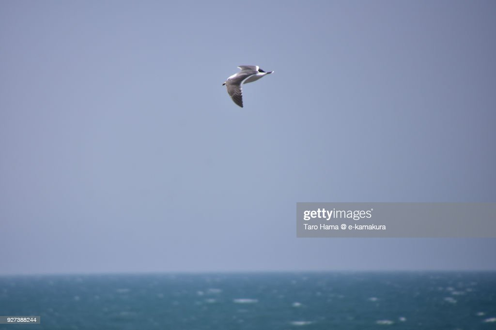 A flying seagull aiming fishes on the beach in Pacific Ocean in Kamakura city in Kanagawa prefecture in Japan : ストックフォト