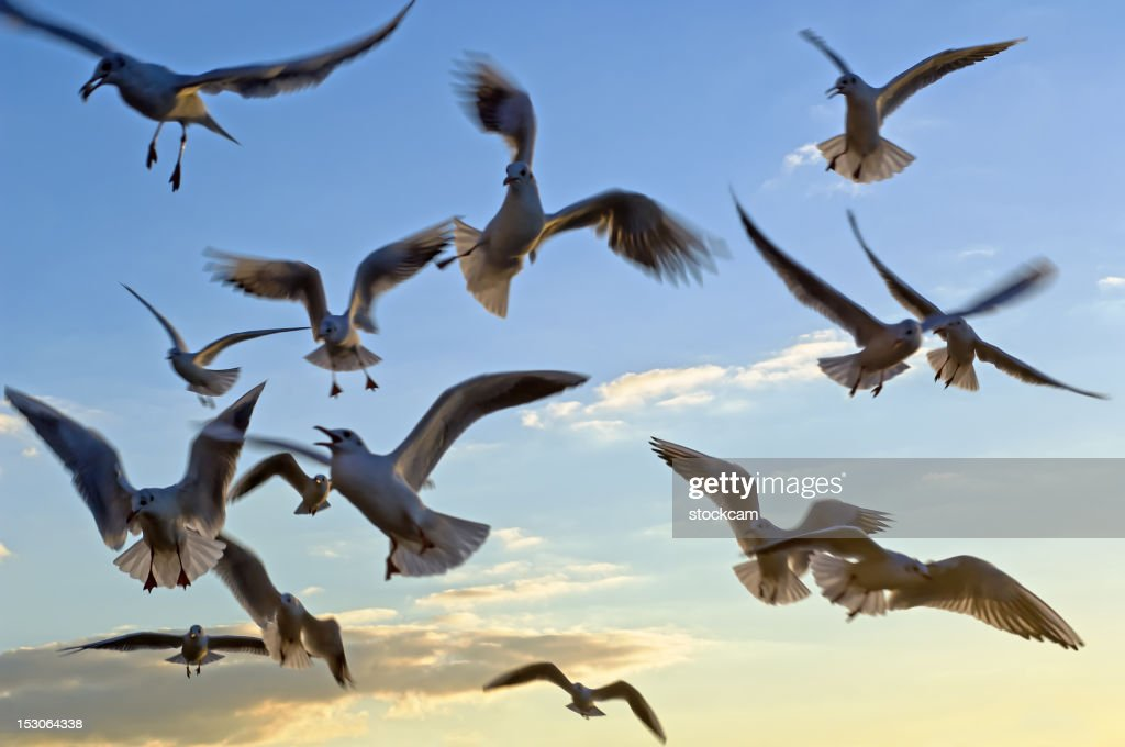Flying seagull birds in the sky : Stock Photo