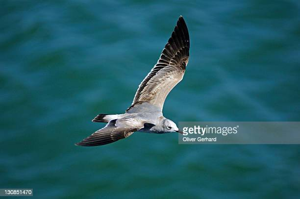 Flying seagull, Costa Rica, Central America