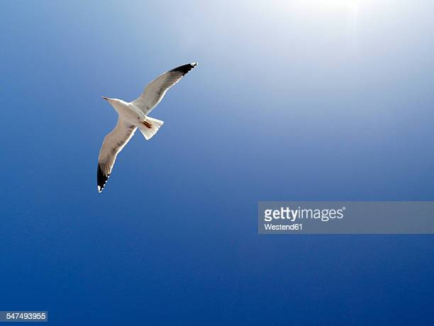 Flying seagull in front of blue sky