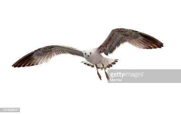 Voar Gaivota isolado a branco