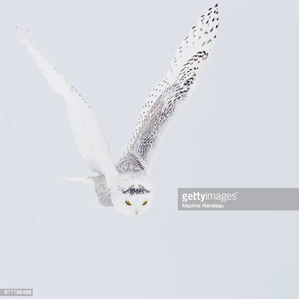 Flying snowy owl (Bubo scandiacus), Quebec, Canada