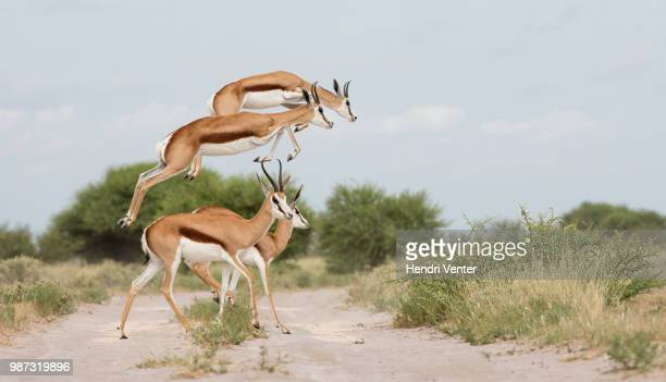 flying springbok - springbok stock photos and pictures