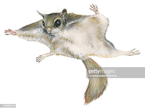 Flying Squirrel New World Flying Squirrel
