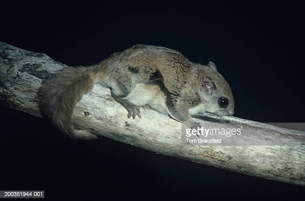 flying squirrel on tree, north america - flying squirrel stock pictures, royalty-free photos & images