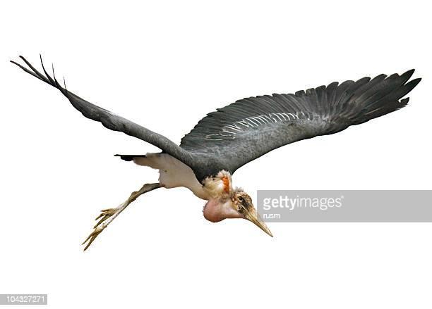 cigogne volant sur fond blanc - marabout photos et images de collection