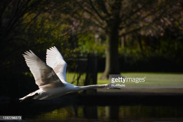 Flying swan over a pond in St. Stephen's Green, Dublin, during the COVID-19 lockdown. On Tuesday, 13 April 2021, in Dublin, Ireland.